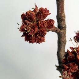 Inflorescences en glomérule de l'érable argenté