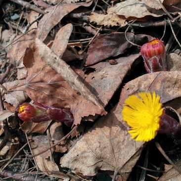 Jeunes fleurs de tussilage